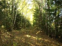 Лес утра на центральной части России стоковое изображение rf