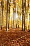 Лес утра осени с листьями Стоковая Фотография