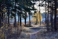 Лес утра Стоковые Изображения RF