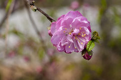 Лес цветка персика Стоковые Изображения RF