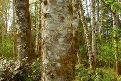 Лес штата Вашингтона с деревьями ольшаника старого роста стоковое изображение