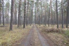 Лес яркого лета coniferous Стоковая Фотография RF