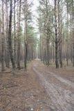 Лес яркого лета coniferous Стоковые Изображения RF