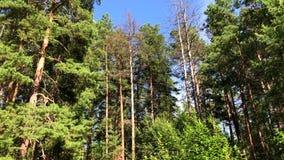Лес Beuatiful глубокий солнечным летом сток-видео