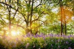 Лес bluebell весны с красивым восходом солнца в Норфолке Стоковое Изображение