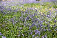 Лес Bluebell Стоковое Изображение