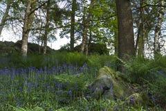 Лес Bluebell Стоковые Фото