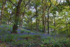 Лес Bluebell Стоковое Изображение RF