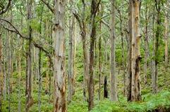 Лес Boranup Стоковые Изображения RF