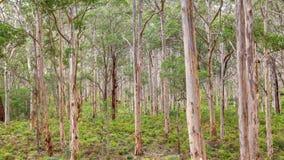 Лес Boranup Karee Стоковые Изображения