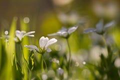 Лес Cerastium в росе утра Стоковые Фото