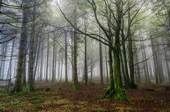 Лес Fogy Стоковые Изображения RF
