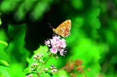 Лес Hardhead бабочки сидит на розовых цветках Стоковое Изображение