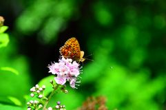 Лес Hardhead бабочки сидит на розовых цветках Стоковые Изображения RF