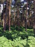 Лес Harewood северного Йоркшира Стоковые Фото