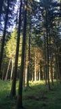 Лес Pinw Стоковые Изображения