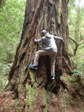 Лес Redwood я mbenga ousman Стоковое Фото