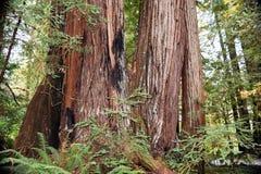 Лес Redwood Jedediah Смита Стоковое Изображение RF