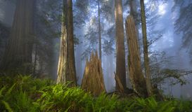 Лес Redwoods в утре Стоковое Фото