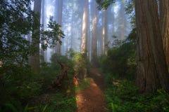 Лес Redwoods в утре Стоковое Изображение