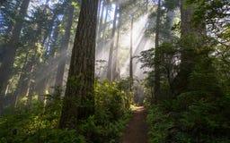 Лес Redwoods в утре Стоковая Фотография RF