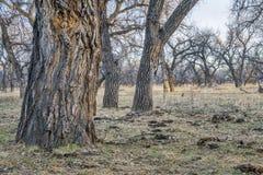Лес Riparian в восточном Колорадо стоковые изображения rf