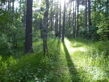Лес Sammer Стоковые Изображения