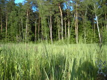 Лес Sammer Стоковая Фотография