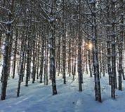 Лес Snowy стоковые фотографии rf