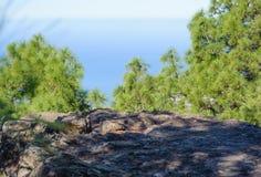 Лес Tamadaba стоковое изображение rf