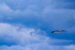 Летание аиста в голубом небе Стоковая Фотография