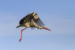 Летание аиста в небе с красивыми открытыми крылами Стоковое фото RF