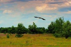 Летание аиста Стоковая Фотография RF