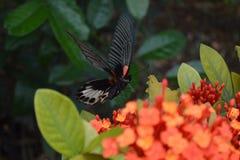 Летание бабочки на цветке Стоковые Фото