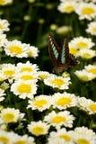 Летание бабочки от цветка к цветку Стоковое Фото