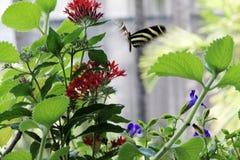 Летание бабочки Стоковое Изображение