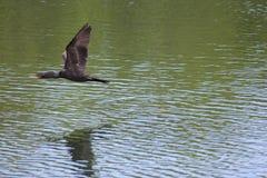 Летание баклана вдоль воды Стоковые Фото