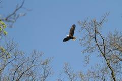 Летание белоголового орлана от гнезда на солнечный день стоковые фотографии rf