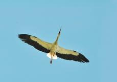 Летание белого аиста Стоковые Фото