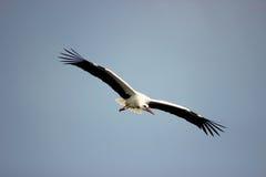 Летание белого аиста Стоковое Фото