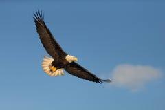 Летание белоголового орлана в Аляске Стоковые Фото