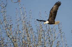 Летание белоголового орлана среди неурожайных деревьев зимы Стоковое Изображение