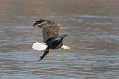 Летание белоголового орлана с рыбами стоковое фото
