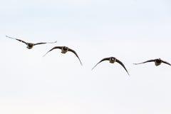 Летание гусыни щипцев Стоковое Изображение