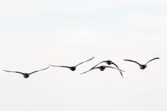 Летание гусыни щипцев Стоковые Фотографии RF
