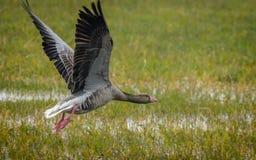 Летание гусыни Greylag (anser Anser) Стоковые Изображения