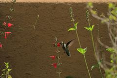 Летание для нектара в Фениксе, взгляд колибри задней части стоковая фотография
