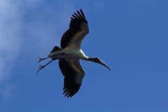 Летание деревянного аиста в голубом небе в Флориде Стоковое Изображение