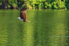 Летание змея Brahminy и заразительная добыча на воде Стоковая Фотография RF