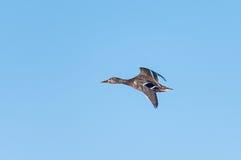 Летание дикой утки Стоковая Фотография RF